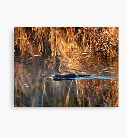 Muskrat Swimming in Gold Canvas Print