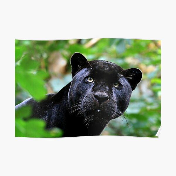 Black Jag Poster
