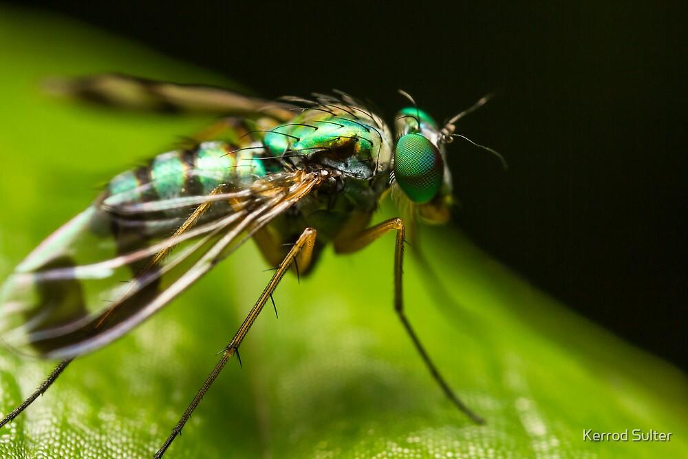 Long Legged Fly by Kerrod Sulter