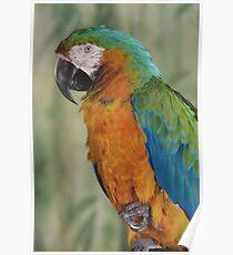 Macaw - Parrot - Ottawa, Ontario Poster