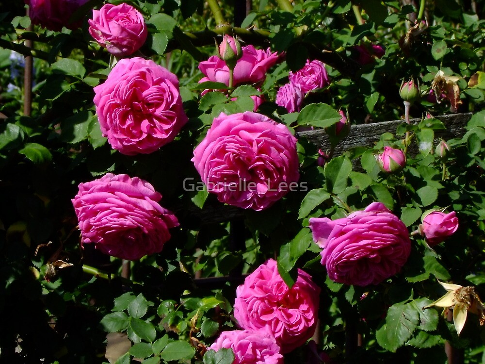 Madame Isaac Periere Rose by Gabrielle  Lees