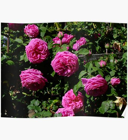 Madame Isaac Periere Rose Poster