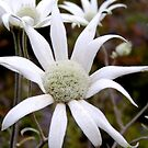 Flannel Flower by Michelle Ricketts