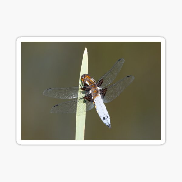 Male Broad-bodied Chaser Dragonfly on a Reed Sticker