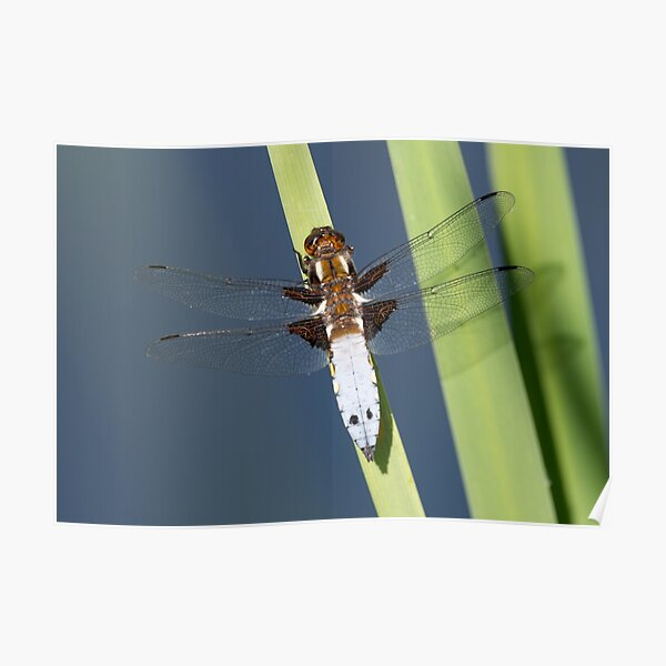 Male Broad-bodied Chaser Dragonfly on a Reed Poster