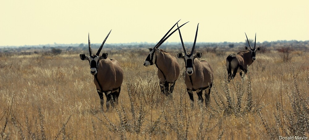 Gemsbok Herd by Donald  Mavor