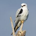 Black-shouldered Kite by triciaoshea