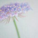 Blue flower by Jill Ferry