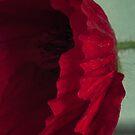 Red poppy by Jill Ferry
