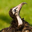 Gonzo the Hooded Vulture by Stuart Robertson Reynolds
