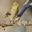 American goldfinch by Penny Fawver