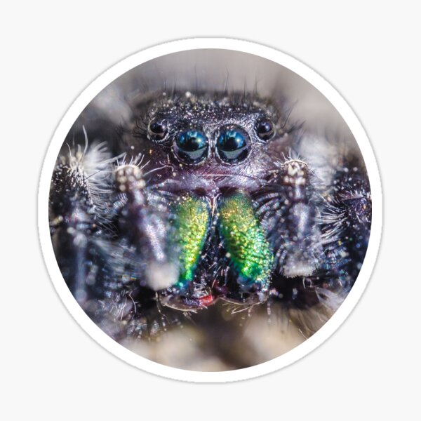 Lil' Hairy Face, Jumping Spider Macro Photograph Sticker