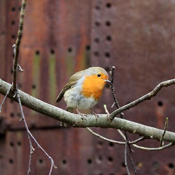 Robin Red Breast out doing his Christmas Shopping by adamredshaw