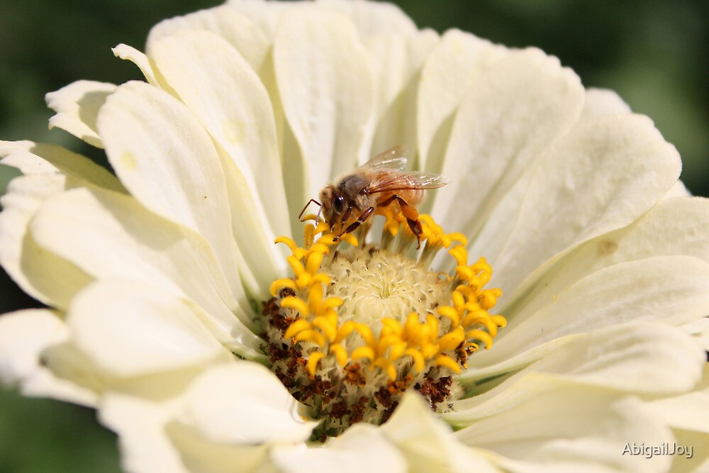 Honeybee on Zinnia angle 3 by AbigailJoy