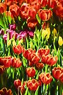 Coloured Tulips   (GO) by Ray Warren