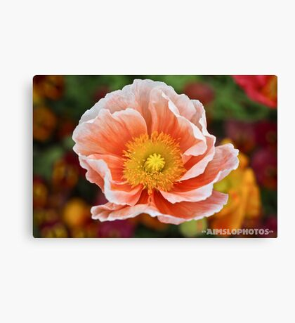 Peach Coloured Poppy  Canvas Print