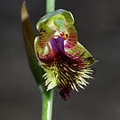 Calochilus herbaceous (Pale Beard Orchid) by Russell Mawson