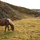 Icelandic Horse by Laura Stanley