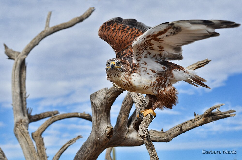 Raptor Flight by Barbara Manis
