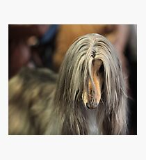 afghan hound Photographic Print