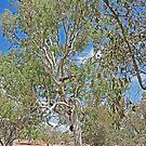 Ghost Gum, Kimberley, Western Australia  by Margaret  Hyde