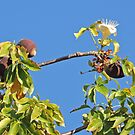 Boab Tree Fruit and Flower, Kimberley, Western Australia by Margaret  Hyde