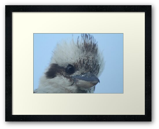Kookaburra by Vikki Shedden Photography
