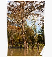 Cypress Trees & Cypress Knees Poster
