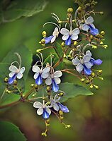 Clerodendrum Ugandense by Savannah Gibbs