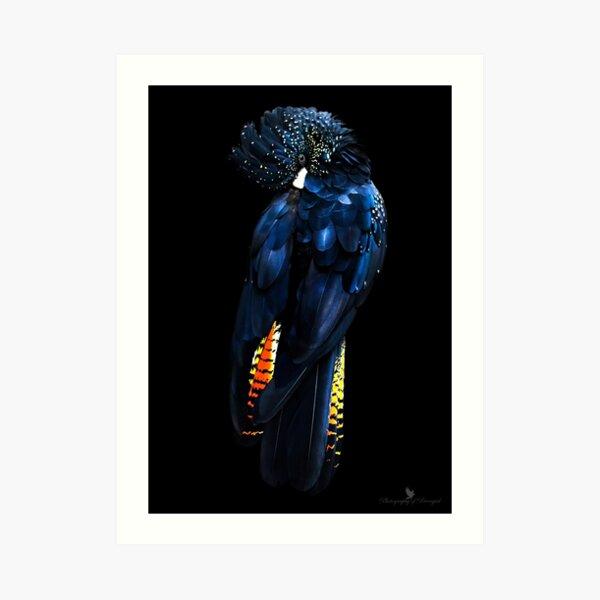 Red Tail Black Cockatoo Art Print