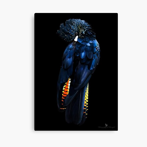 Red Tail Black Cockatoo Canvas Print