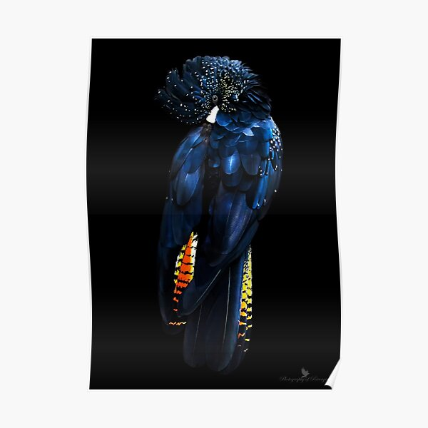 Red Tail Black Cockatoo Poster