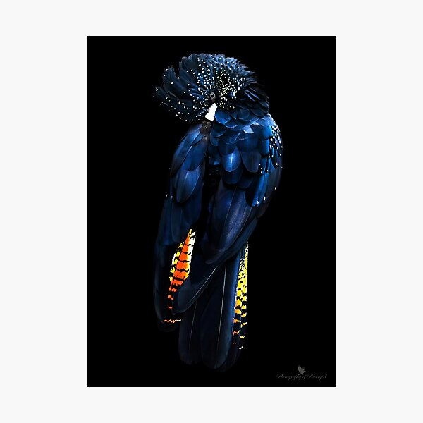 Red Tail Black Cockatoo Photographic Print