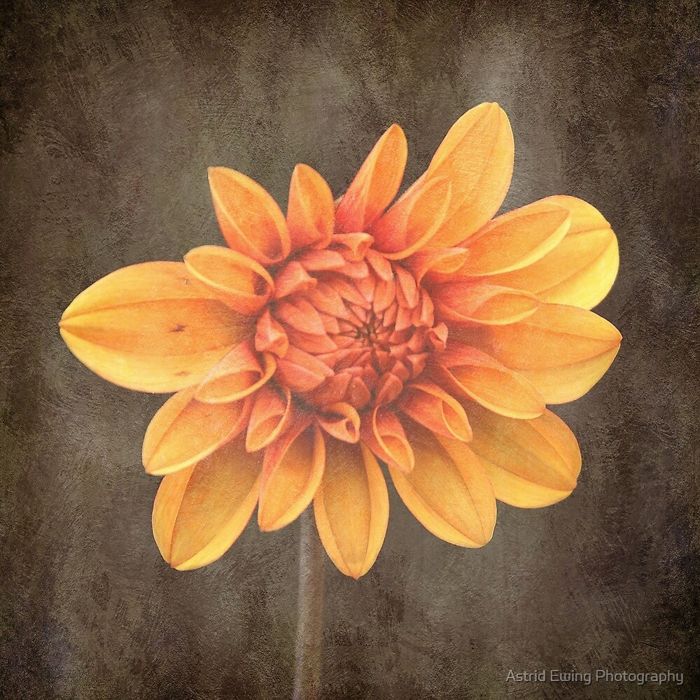 Orange Dahlia by Astrid Ewing Photography