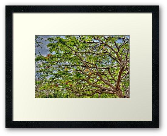 Royal Poinciana Tree in Nassau, The Bahamas by Jeremy Lavender Photography