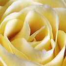 Yellow Rose by Robert Worth
