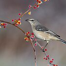 Northern Mockingbird by (Tallow) Dave  Van de Laar