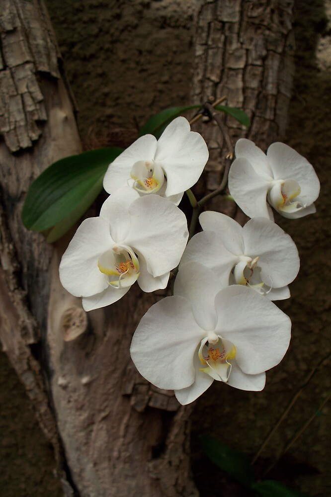 Orchids in bloom by Katherine Poynton