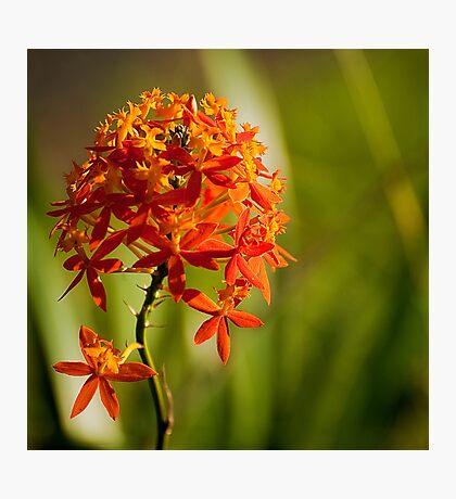 Crucifix Orchid Epidendrum ibaguense square format Photographic Print