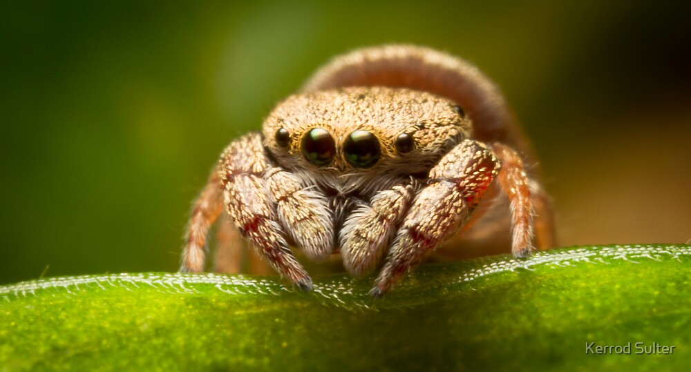 (Simaethula ZZ483) Jumping Spider #2 by Kerrod Sulter