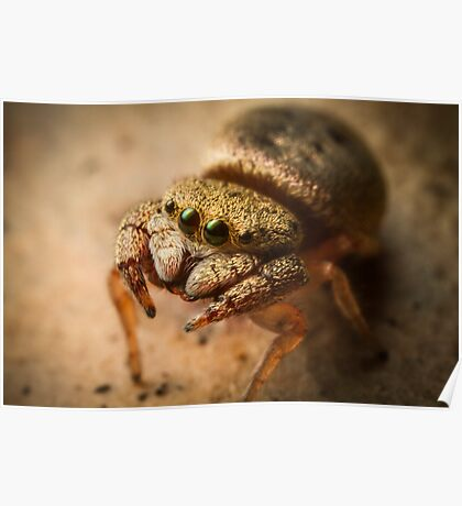 (Simaethula ZZ483) Jumping Spider #4 Poster