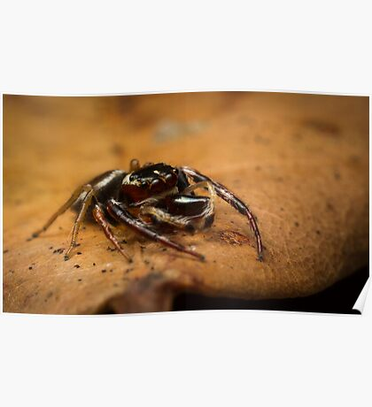 (Opisthoncus polyphemus) Male Jumping Spider #2 Poster