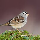 White-Crowned Sparrow by (Tallow) Dave  Van de Laar