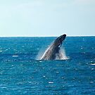 humpback breach. bicheno, tasmania by tim buckley   bodhiimages