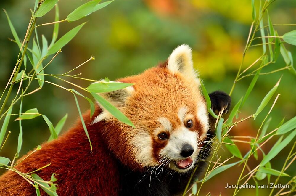 Red Panda / Kleine Panda ...hey that's my bamboo .... by Jacqueline van Zetten