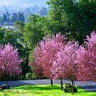 Cherry Blossom Time by Extraordinary Light