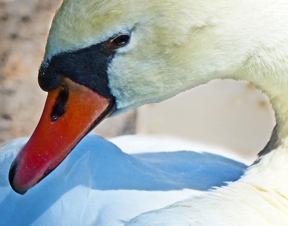 Swan portrait by Linda Sparks