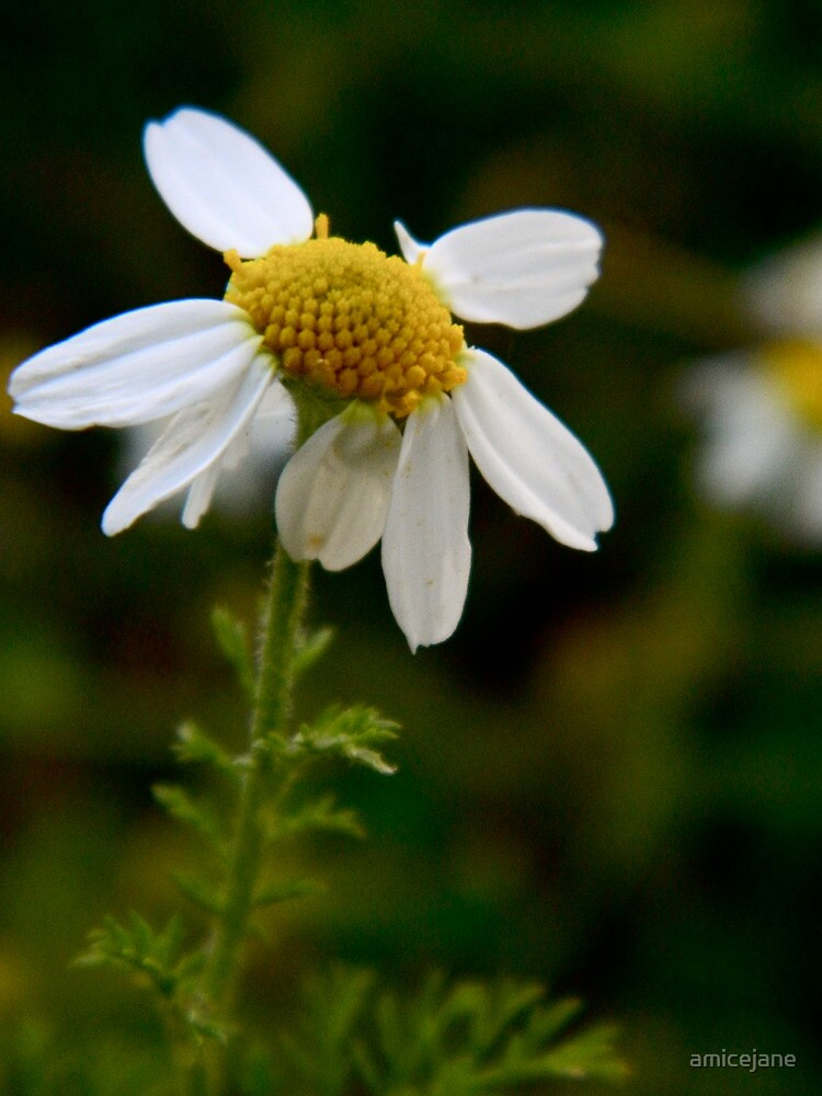 Oh, Chamomile! by amicejane