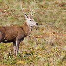 Deer by LazloWoodbine