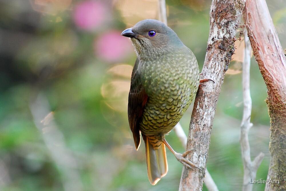 Satin Bowerbird (Female) by Leslie-Ann